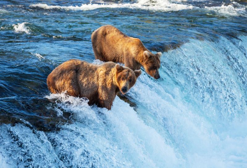 Braunbären in freier Wildbahn beim Fischfang