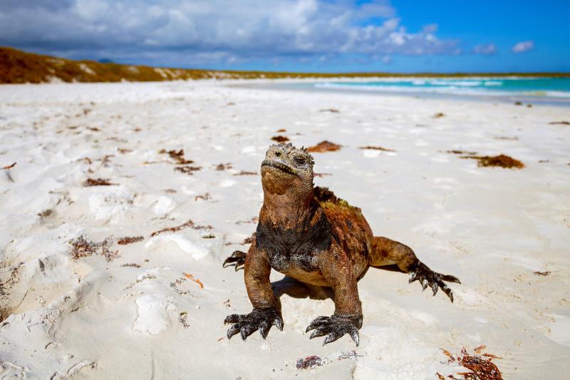 Galapagos-Inseln Leguan