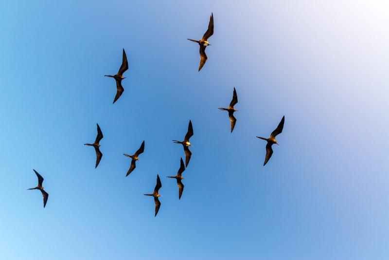 Fregattvögel, Galapagos-Inseln