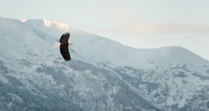 Weißkopfseeadler vor schneebedeckten Bergen