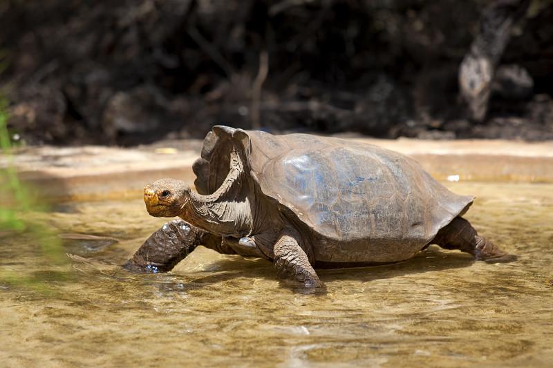 Riesenschildkröten, Galapagos-Inseln
