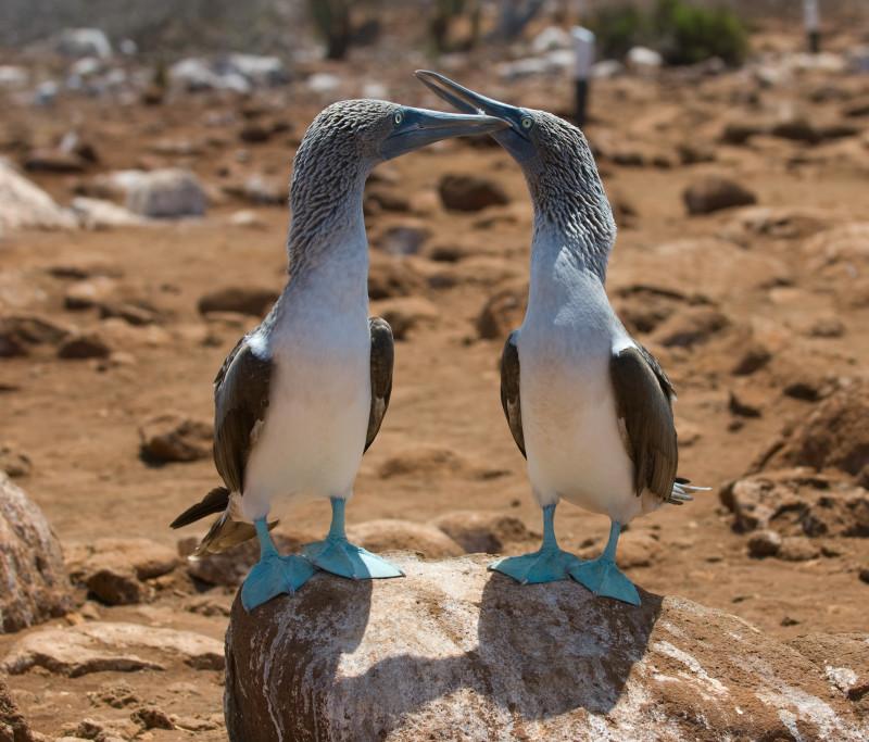 Blaufußtölpel, Galapagos-Inseln, Ecuador