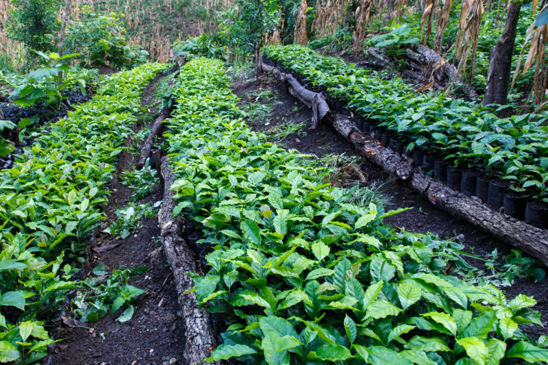 Kaffeeplantagen Nicaragua