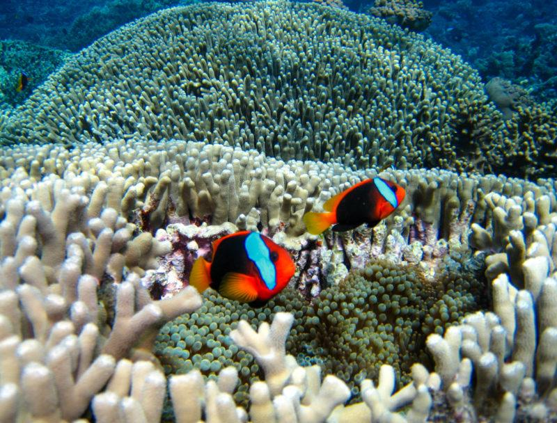 Clownfische im Meer bei Queensland