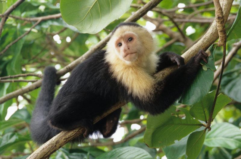 Kapuzineräffchen im Urwald Costa Rica