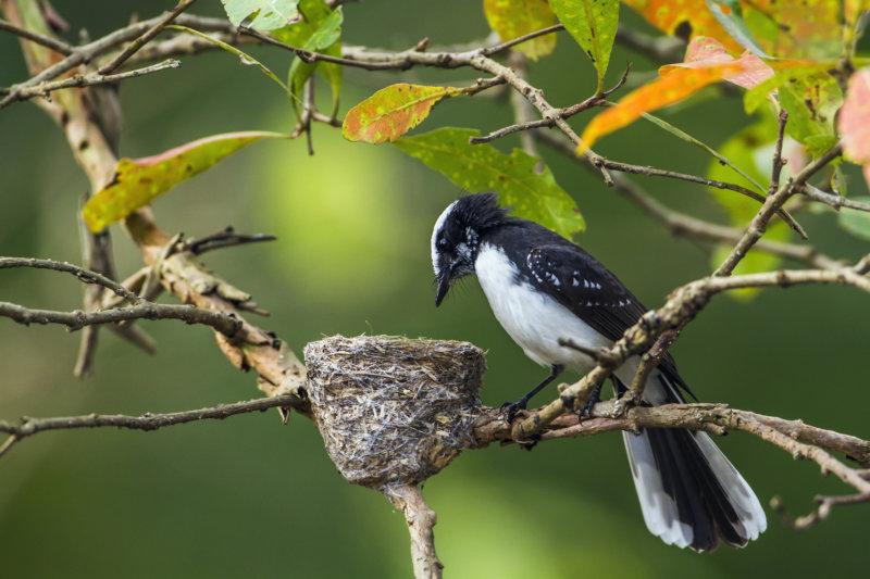Gartenfächerschwanz am Nest