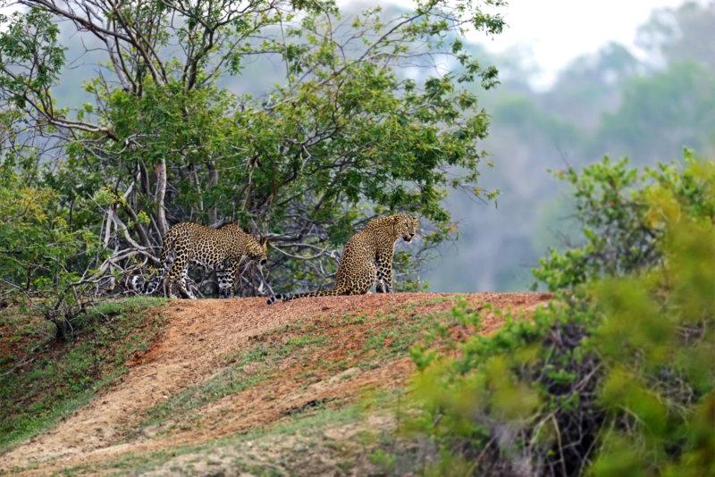 Leoparden auf Sri Lanka