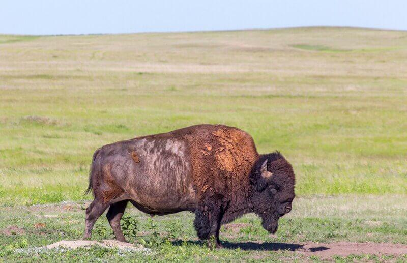Der mittlere Westen – Bison in der Prärie