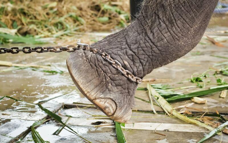 Elefant mit angeketteten Füßen