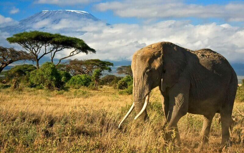 Elefant vor dem Kilimandscharo in Tansania