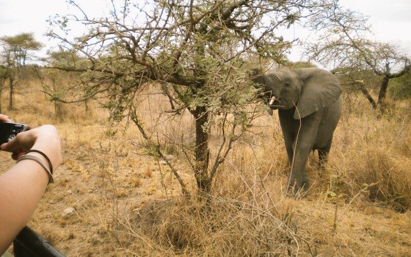 Elefant frisst an einem Strauch
