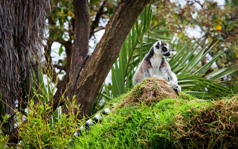 Lemuren in den Regenwäldern