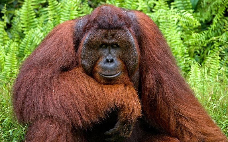 Orang-Utans auf Sumatra