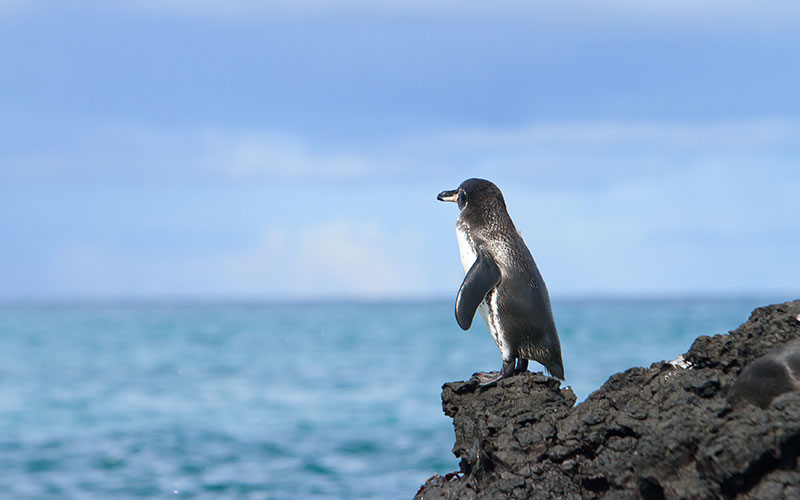 Galapagos-Inseln, The Galapagos Penguin (Spheniscus mendiculus) is a penguin endemic to the Galapagos Islands.