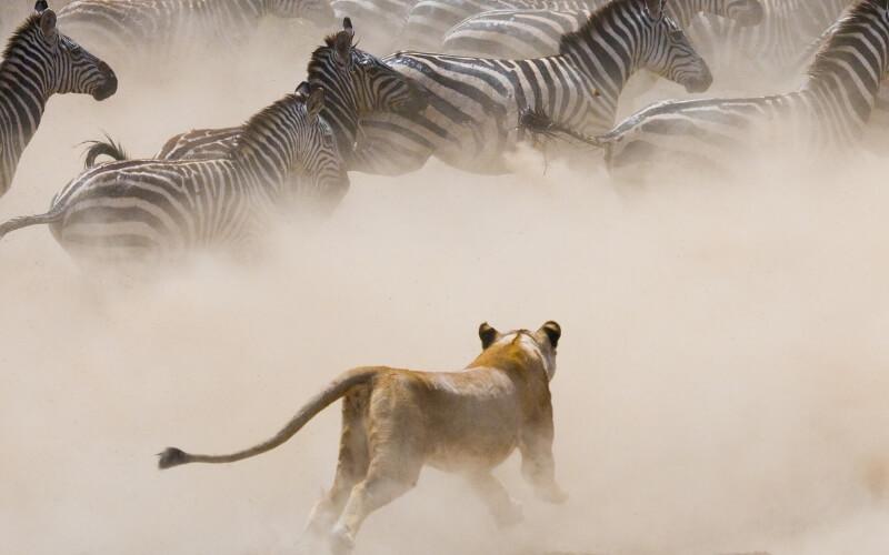 Löwe und Zebras in der Wildnis Masai Mara.