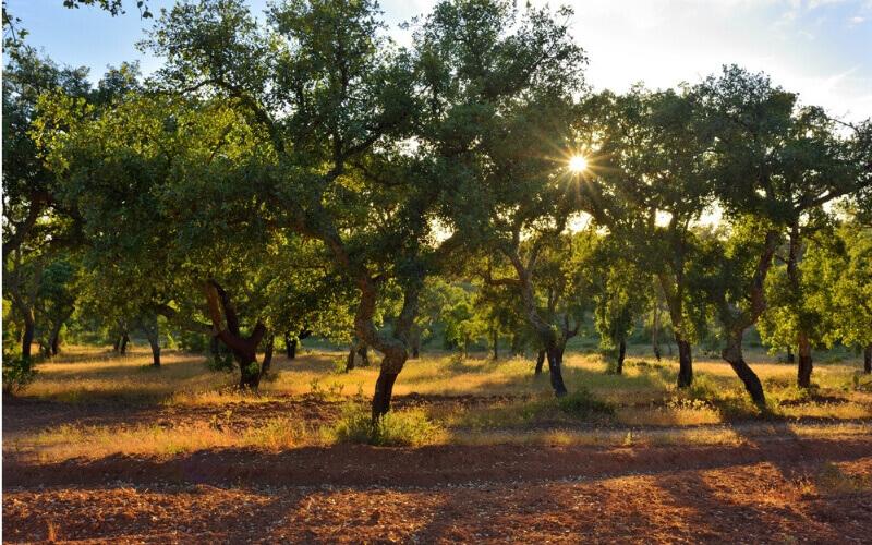 Schattenspiel Korkbäume in der Sonne