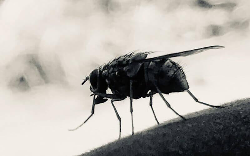 Makroaufnahme einer Fliege in schwarzweiss