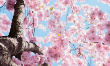 Kirschblüte im Frühling - Photo by Arno Smit on Unsplash